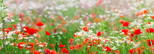 Poster Poppy Kamille, Mohn, Sommerwiese, Panorama