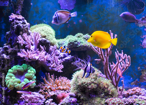 Photo Stands Coral reefs Reef tank, marine aquarium. Blue aquarium full of fishes and plants. Tank filled with water for keeping live underwater animals. Gorgonaria. Clavularia. Zoanthus. Zebra apogon. Zebrasoma. Percula.