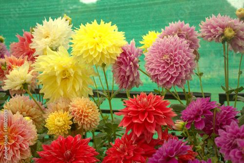 Poster de jardin Dahlia Dahlia flowers