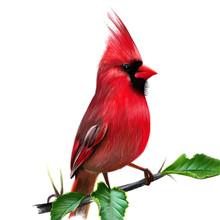 Cardinalis Cardinalis. Illustration Of A Red Cardinal Or Cardinal Virgin. In Seven States Elected Official Symbol.