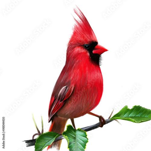 Cardinalis cardinalis Fototapete