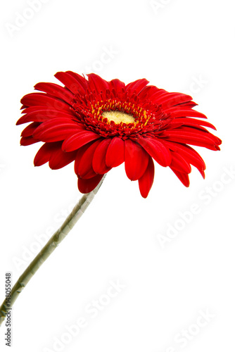 Deurstickers Gerbera Beautiful gerbera flower