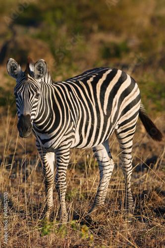 the-plains-zebra-equus-quagga