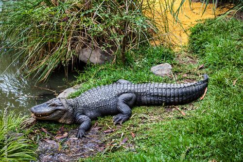 aligator in wildlife
