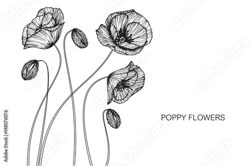 Poppy flowers drawing and sketch with line-art on white backgrounds. - 148076076