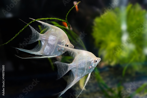 Angelfish (Pterophyllum scalare) Canvas Print