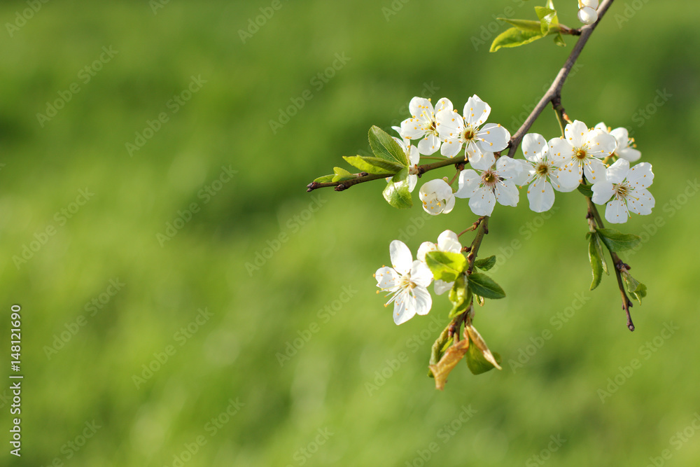 Photo art print early flowering cherry tree white flowers in photo art print early flowering cherry tree white flowers in spring time on a green background europosters mightylinksfo