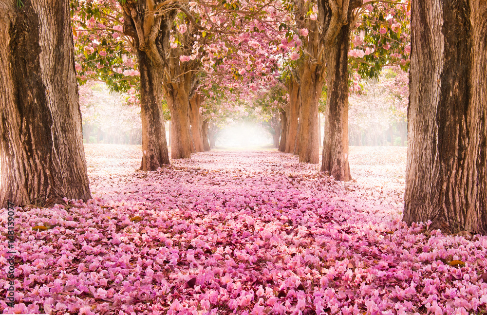 Fototapeta Falling petal over the romantic tunnel of pink flower trees / Romantic Blossom tree over nature background in Spring season / flowers Background