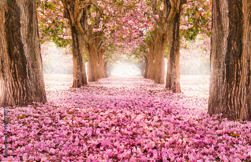 Falling petal over the romantic tunnel of pink flower trees / Romantic Blossom tree over nature background in Spring season / flowers Background - fototapety na wymiar
