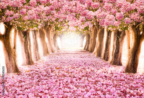 Fototapety, obrazy: Falling petal over the romantic tunnel of pink flower trees / Romantic Blossom tree over nature background in Spring season / flowers Background
