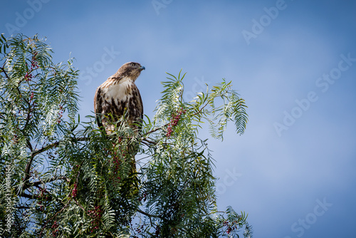 Photo  Looking up at a Cooper's Hawk sitting in a tree with red berries.