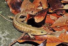 Barisia Imbricata(Escorpión)