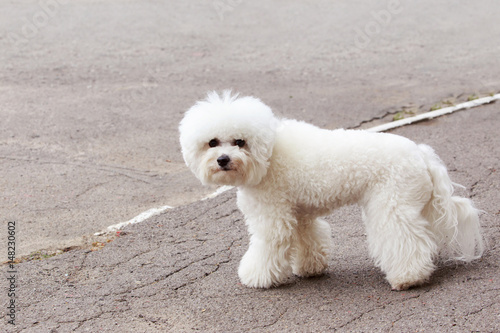 Fotografia, Obraz  dog breed maltese bichon
