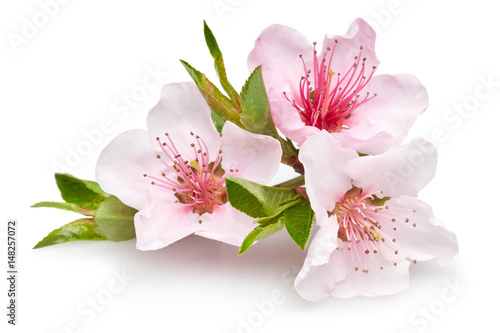 Photo  Almond flowers
