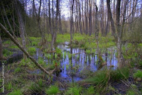 Fototapeta podmokły las