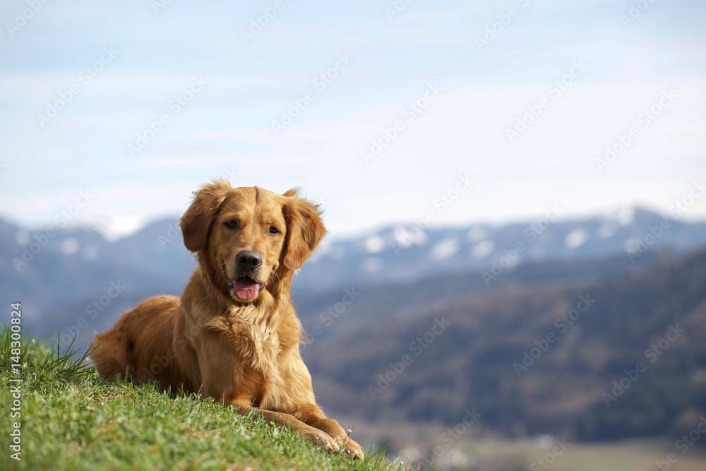 Fototapety, obrazy: Golden Retriever