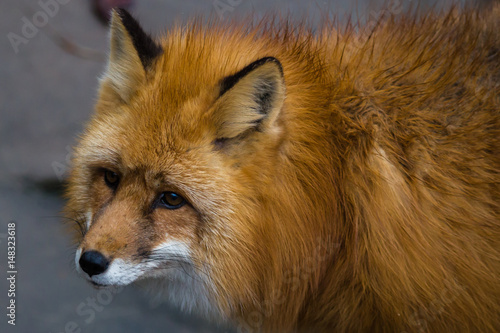portrait-of-red-foxes-fox-is-a