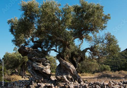 drzewo-oliwne