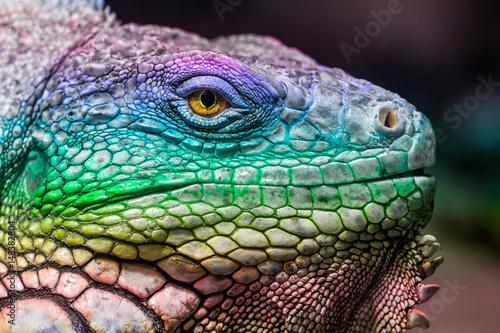 portrait of a colorful iguana