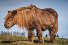 Old And Hairy Icelandic Horse