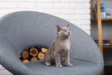 Grey Kitten Burmese Sitting On...