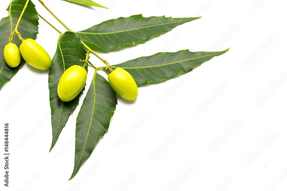 Fototapety, obrazy: Medicinal neem fruits with twigs over white background