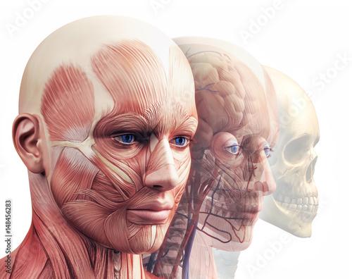 Plakat na zamówienie Anatomia głowy