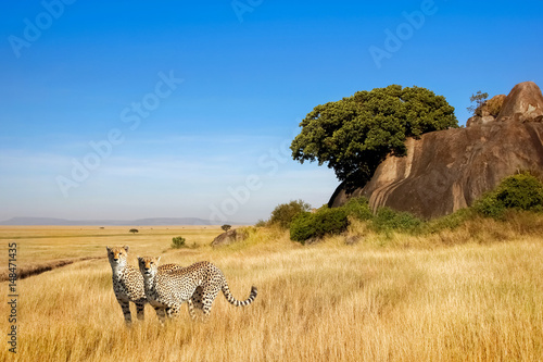 A group of cheetahs in the savanna in the national park of Africa Wallpaper Mural