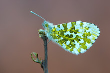 The Orange Tip - Anthocharis C...