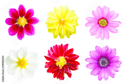 Poster de jardin Dahlia collection chrysanthemum isolated on white background