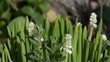 White Muscari in spring blooming garden