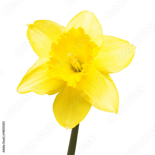 Staande foto Narcis Yellow daffodil flower isolated on white background. Flat lay, top view