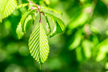 Beech Leaves In Spring - Outdoor Activity And Spring Season
