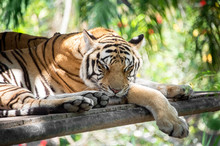 A Beautiful Young Striped Tige...