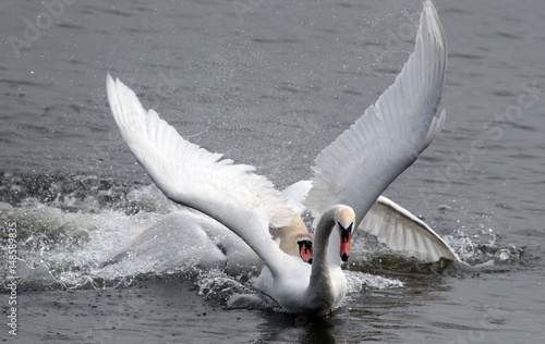 Valokuva  Two male swans, Cygnus olor, during a fight for supremacy in mating season on the River Danube at Zemun in the Belgrade Serbia