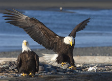 Bald Eagle Approaches Log With Wings Outstretched As Prepares To Land