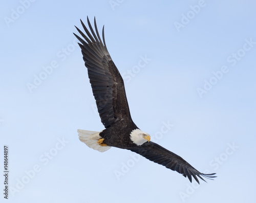 Fotografie, Obraz  Bald eagle flying over the bay in Homer, Alaska