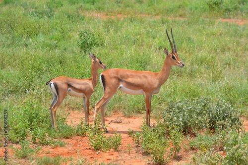 Antelope Kenia Safari