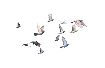 group of pigeon flying isolated for dicutClipping inside