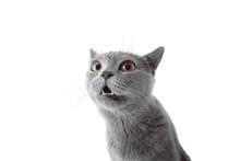 Gray Cat Looking At Camera. Is...