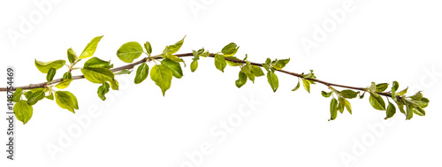 Branch of an apple tree with young green leaves Obraz na płótnie