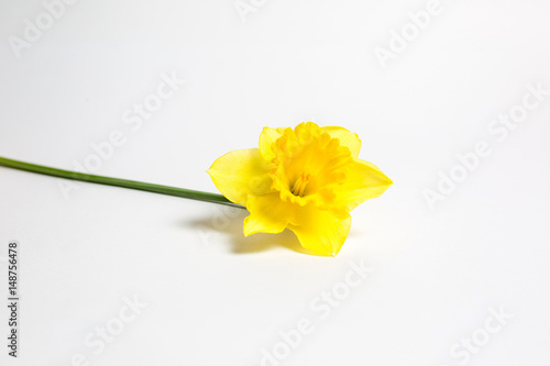 Deurstickers Narcis Beautiful yellow flower in spring on white