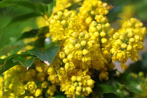 mahonia aquifolium oregon grape Canvas Print