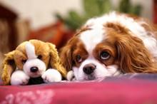 Dog Breed Cavalier King Rarls ...