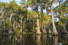 Spanish Moss Hanging From Bald...
