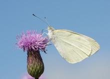 White Skipper Butterfly