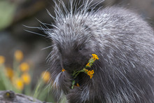 Porcupine On Dead Log Eating Yellow Flowers And Grass In Spring