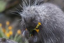 Porcupine On Dead Log Eating Y...