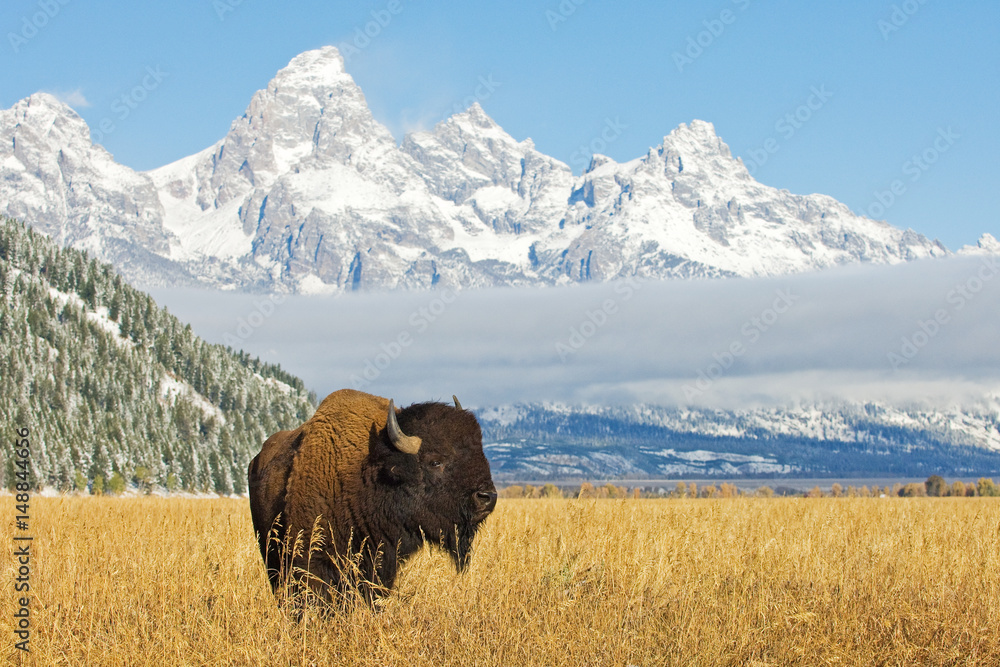 Fototapeta Bison in front of Grand Teton Mountain range with grass in foreground