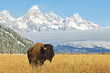 canvas print picture - Bison in front of Grand Teton Mountain range with grass in foreground